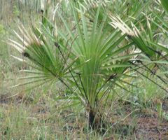 Is one of Saw Palmettos side effects impotence?