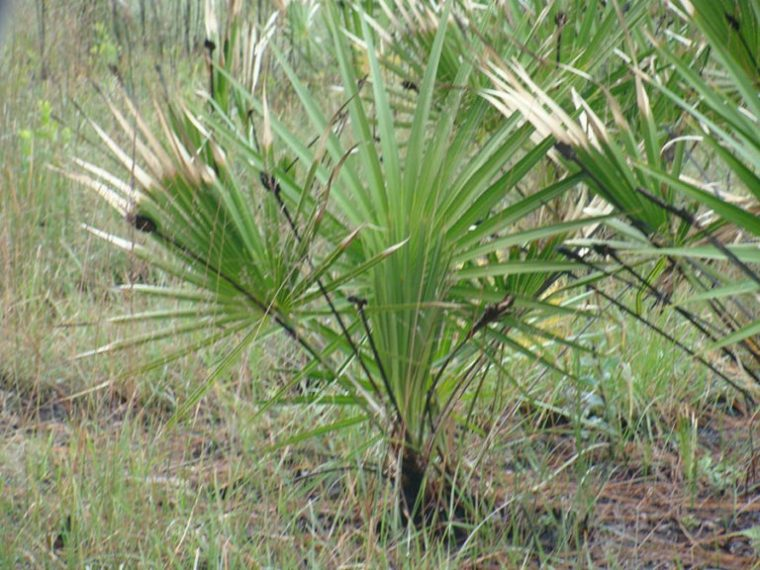 Saw-Palmetto-impotence